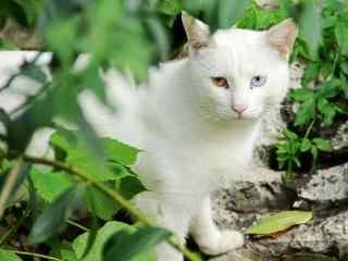 严肃可爱的猫咪桌面壁纸