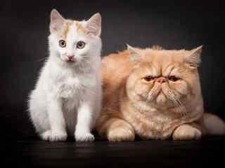 两只可爱的猫咪桌面壁纸