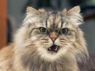 假装自己很凶的波斯猫桌面壁纸