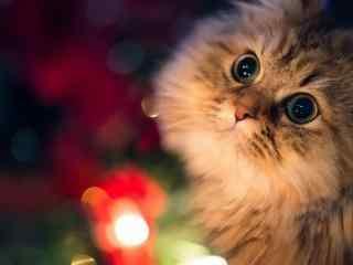 暖暖灯光下可爱的波斯猫桌面壁纸