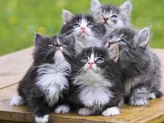一群可爱的波斯猫桌面壁纸
