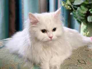 白色毛茸茸可爱的波斯猫桌面壁纸