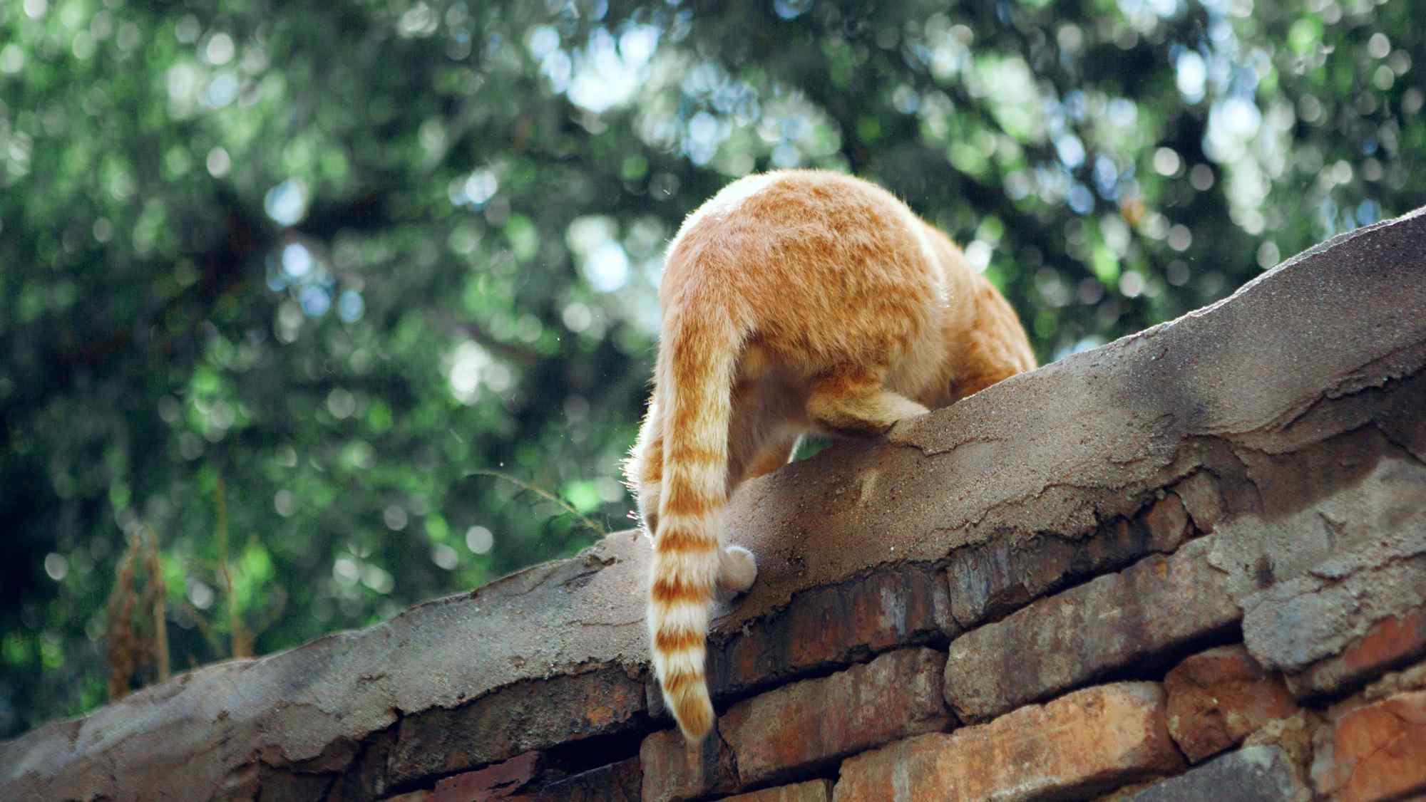 可爱的橘猫小屁股桌面壁纸