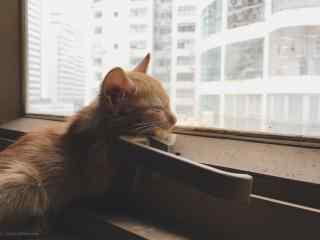 看着窗外世界的橘猫桌面壁纸