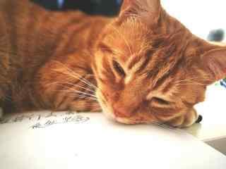 慵懒软萌的小橘猫桌面壁纸