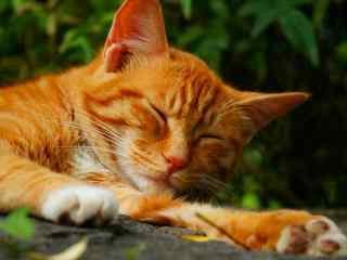 慵懒休息的橘猫桌