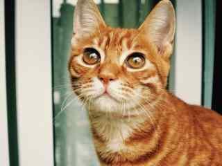 大大眼睛的小橘猫桌面壁纸