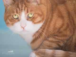 霸气威武的胖橘猫桌面壁纸