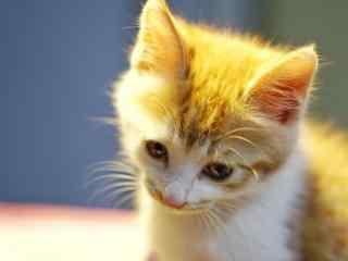 一脸委屈的小橘猫桌面壁纸