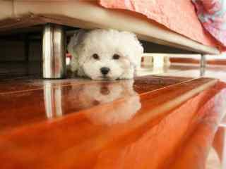 趴在地板上的比熊犬桌面壁纸
