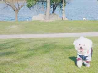 草地上可爱的比熊狗狗侧脸壁纸