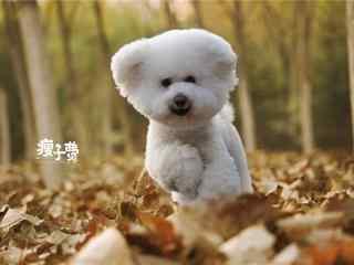可爱奔跑的比熊桌面壁纸