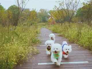排队而行的可爱比熊狗狗壁纸