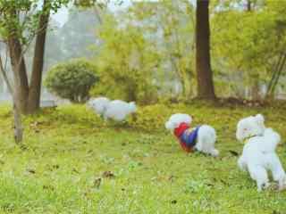 在草地上的比熊狗狗壁纸