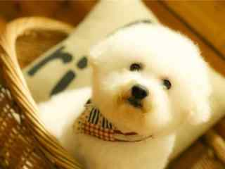 呆萌的比熊可爱桌面壁纸