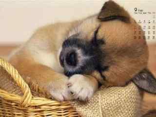 2017年9月日历睡着的小奶狗壁纸
