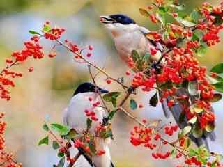 可爱小鸟与红果儿桌面壁纸