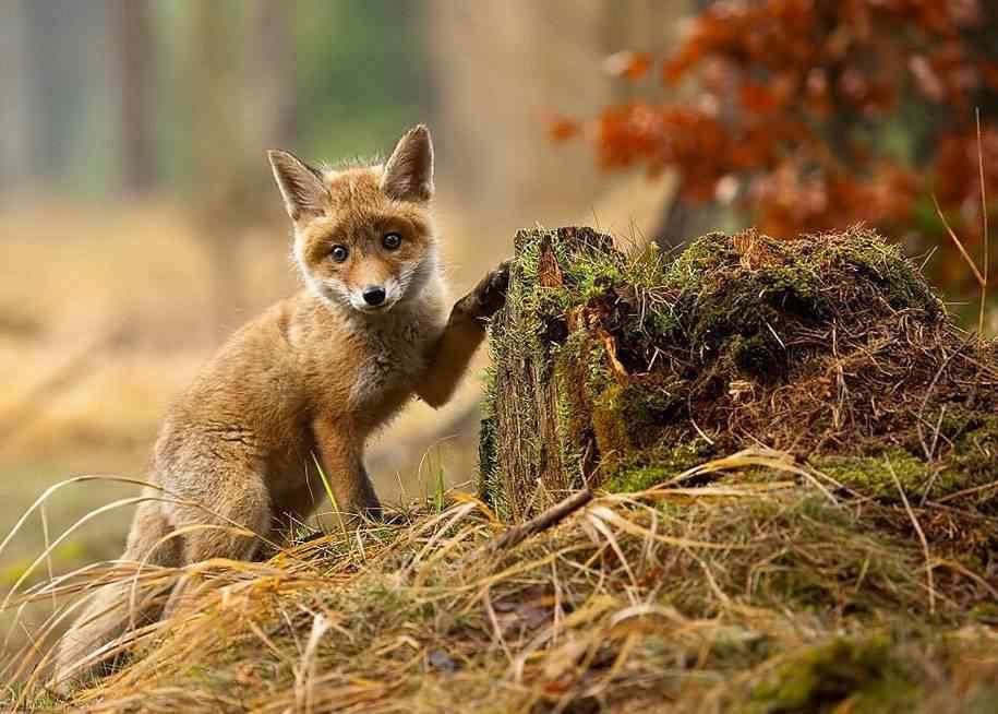 聪明的小狐狸图片壁纸
