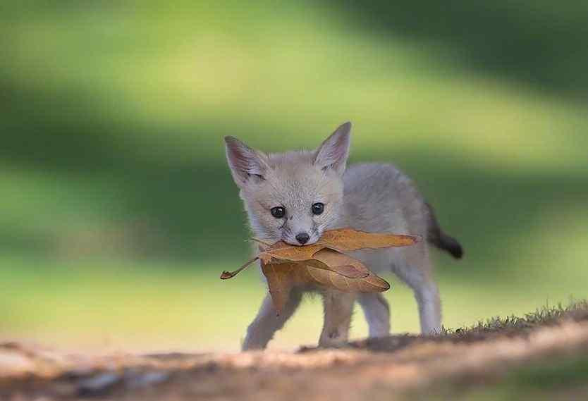 可爱小狐狸图片壁纸