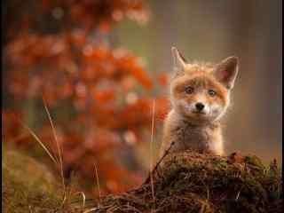 萌萌哒秋日小狐狸桌面壁纸