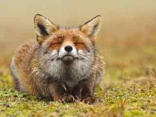眯着眼睛的小狐狸桌面壁纸
