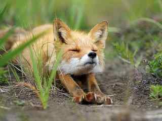 眯着眼睛生懒腰的小狐狸桌面壁纸