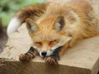 可爱的小狐狸睡觉图片壁纸