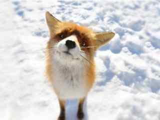 雪地上可爱的小狐狸桌面壁纸