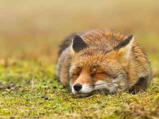 睡着的小狐狸桌面壁纸