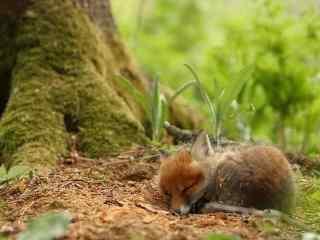 大树下睡觉的小狐狸桌面壁纸