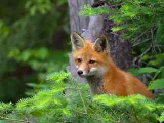 可爱狐狸护眼桌面壁纸