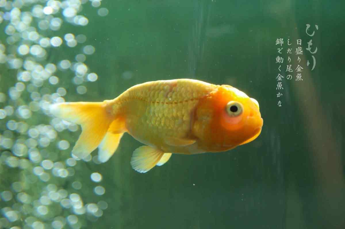 可爱的金鱼摄影桌面壁纸