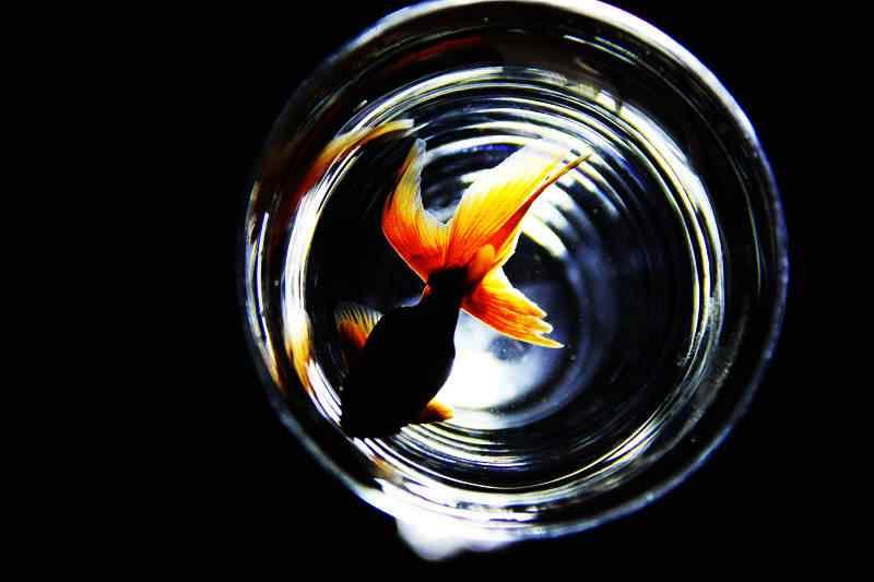 水缸中的金鱼唯美摄影壁纸