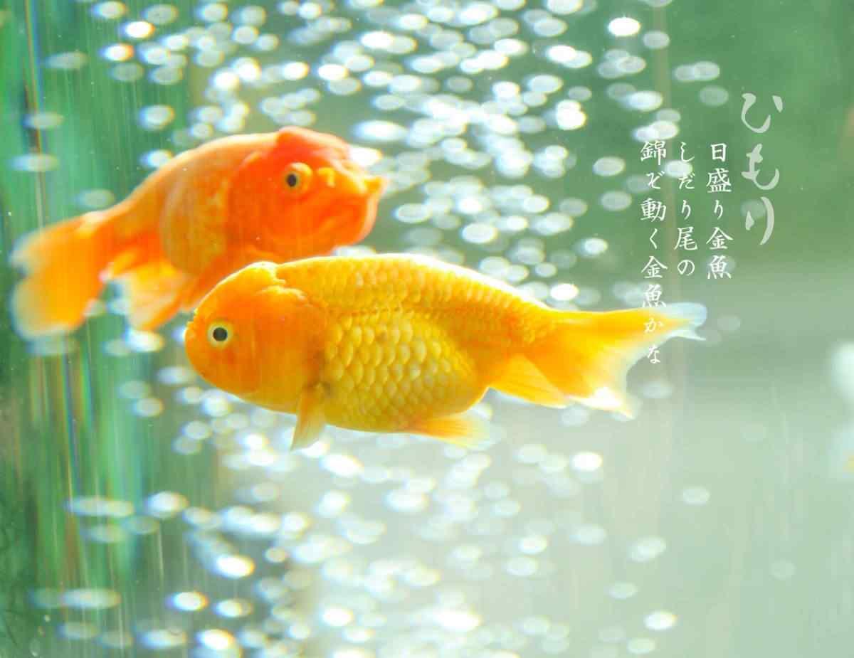 日系金鱼唯美桌面壁纸