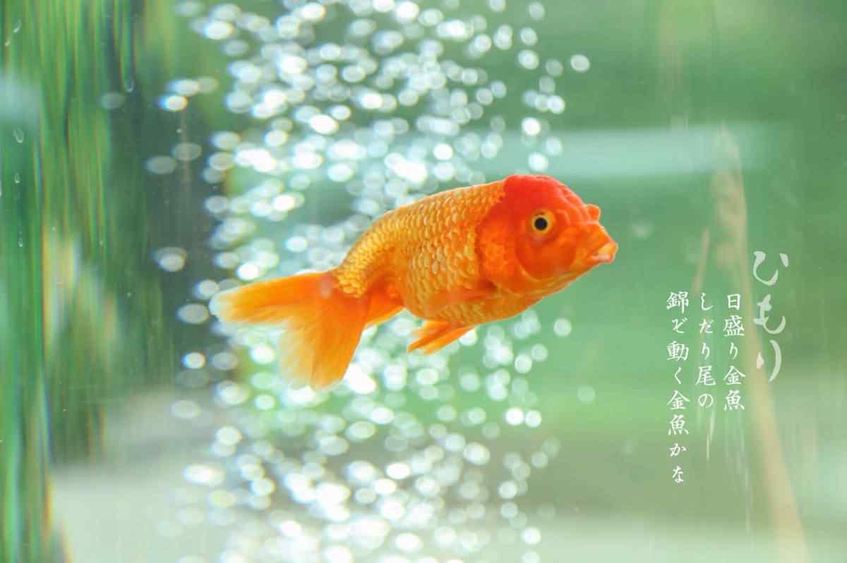 文艺的金鱼图片壁纸