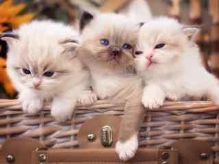 三只小猫篮子可爱