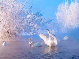 天鹅 冬天的雪