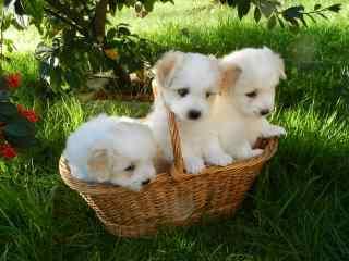 草地 三只小狗 篮