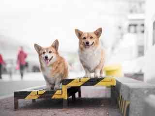 狗狗桌面壁纸萌犬