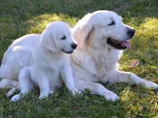 狗狗桌面壁纸可爱白色小狗高清桌面壁纸