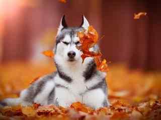 狗狗桌面壁纸表情搞怪的哈士奇图片高清宽屏桌面壁纸