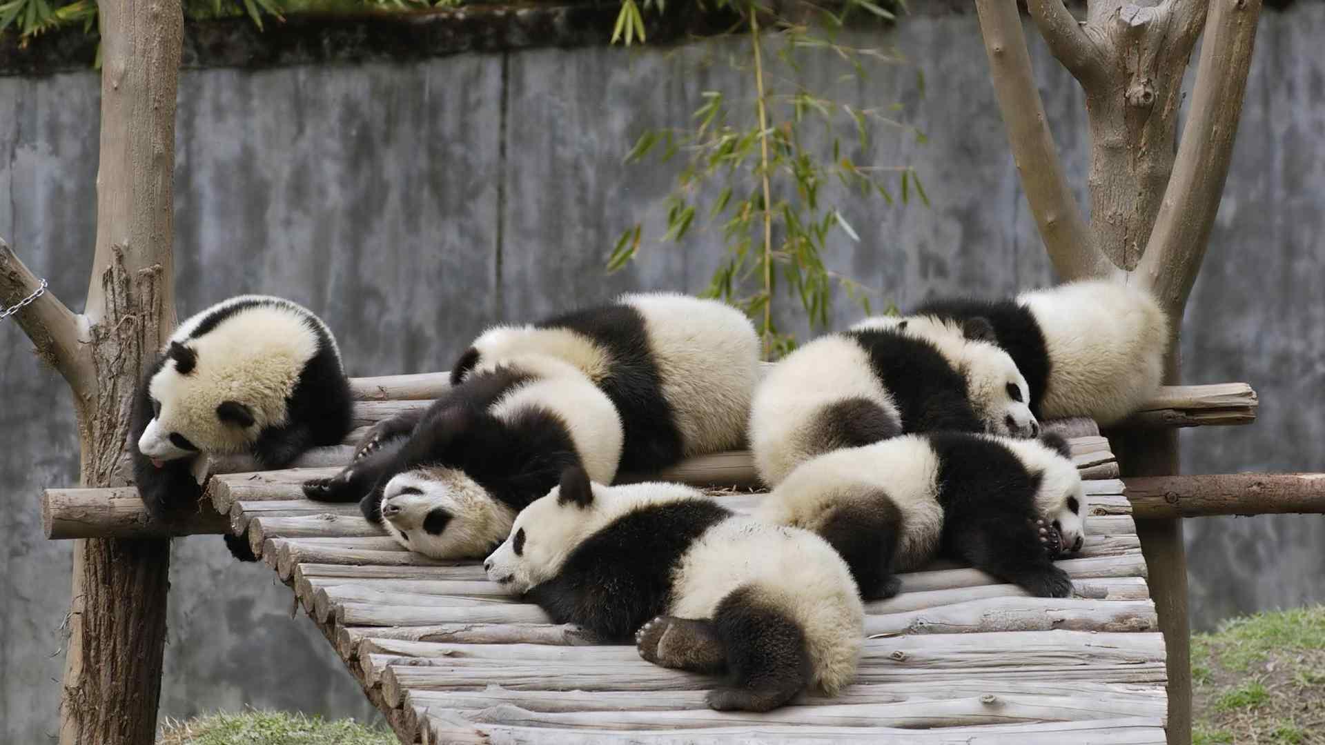 可爱的大熊猫_可爱熊猫宝宝高清桌面壁纸 -桌面天下(Desktx.com)