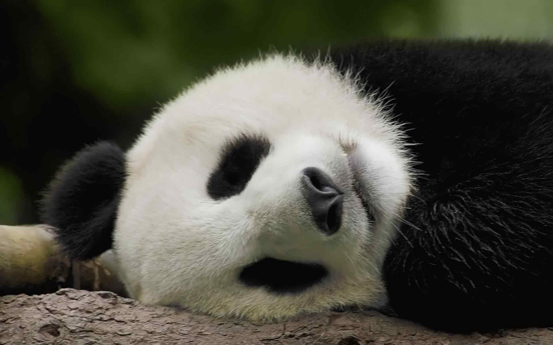 国宝熊猫憨态可掬呆萌治愈高清桌面壁纸