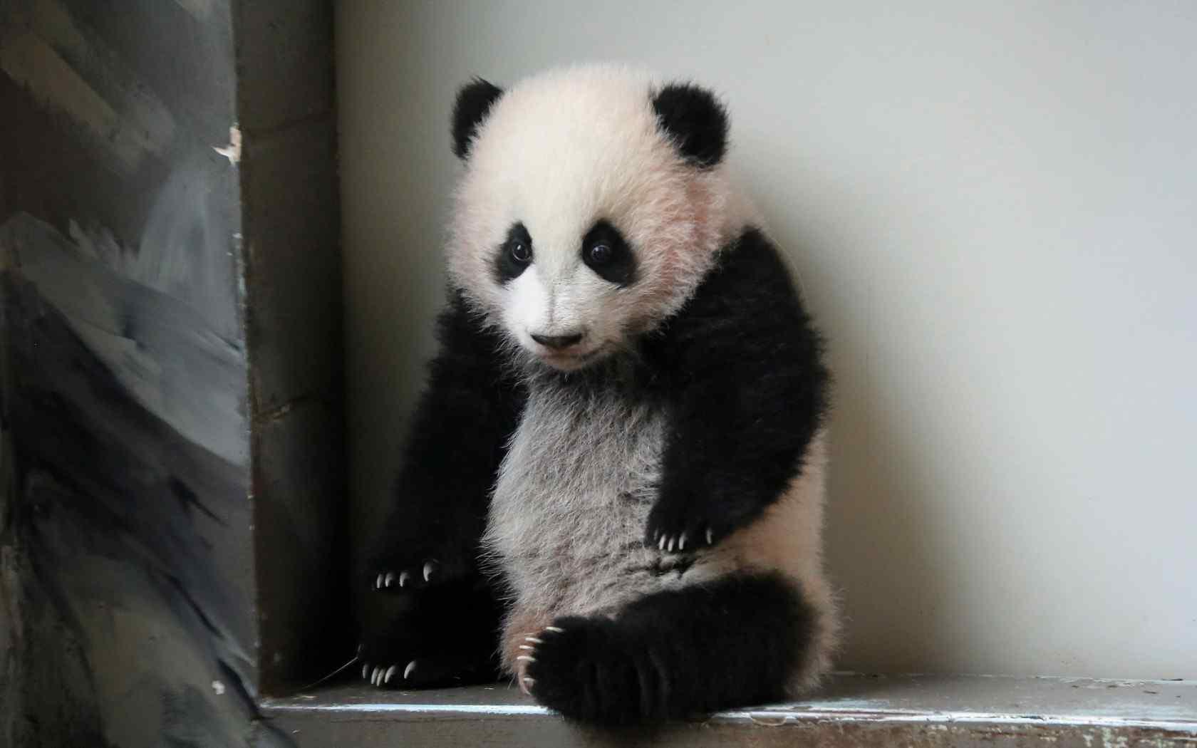 超可爱熊猫宝宝桌面壁纸