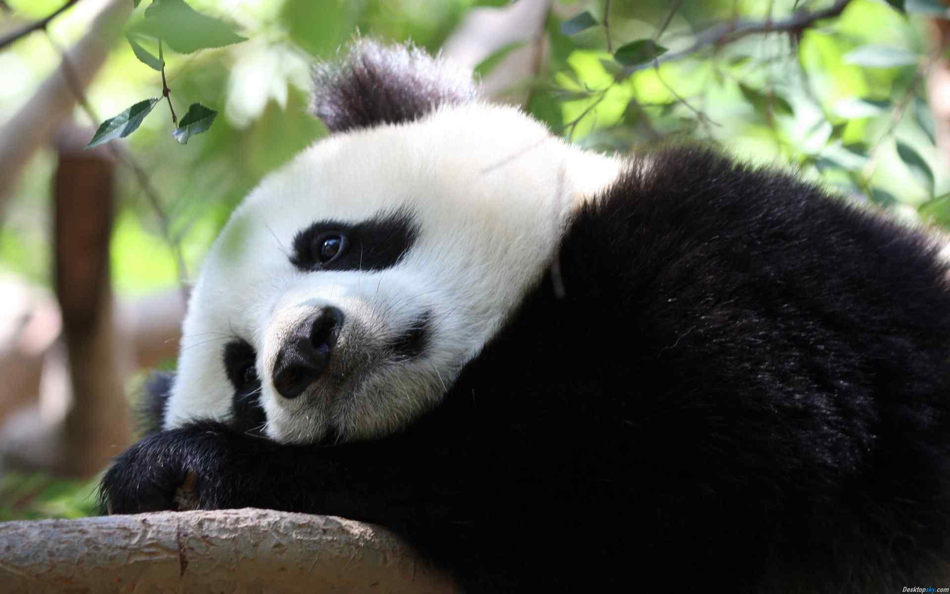 熊猫憨态可掬呆萌桌面壁纸