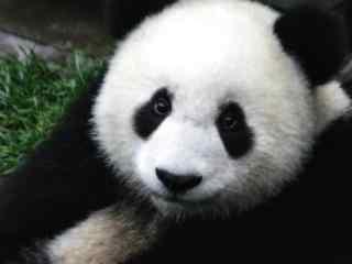 可爱大熊猫高清图片桌面壁纸