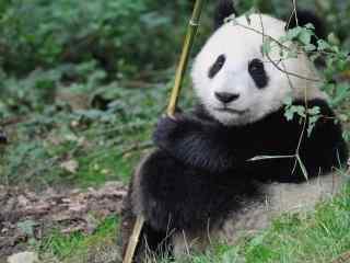 国宝熊猫可爱高清图片桌面壁纸