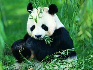 可爱大熊猫萌萌高