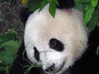 可爱的大熊猫高清摄影图片电脑桌面壁纸
