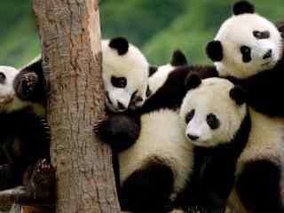 可爱熊猫宝宝高清